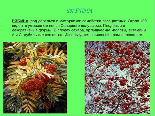 РЯБИНА, род деревьев и кустарников семейства розоцветных. Около 100 видов; в...