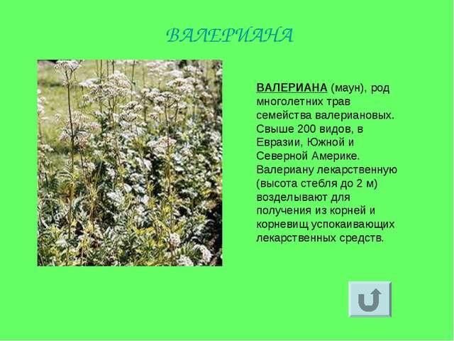 ВАЛЕРИАНА (маун), род многолетних трав семейства валериановых. Свыше 200 видо...