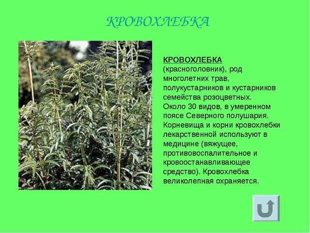 КРОВОХЛЕБКА (красноголовник), род многолетних трав, полукустарников и кустарн...