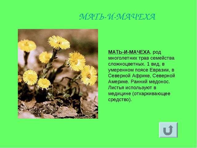 МАТЬ-И-МАЧЕХА, род многолетних трав семейства сложноцветных. 1 вид, в умеренн...