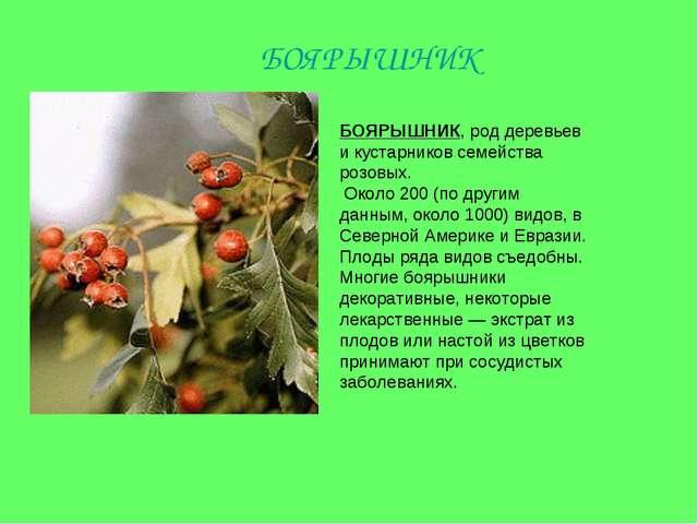 БОЯРЫШНИК, род деревьев и кустарников семейства розовых. Около 200 (по другим...