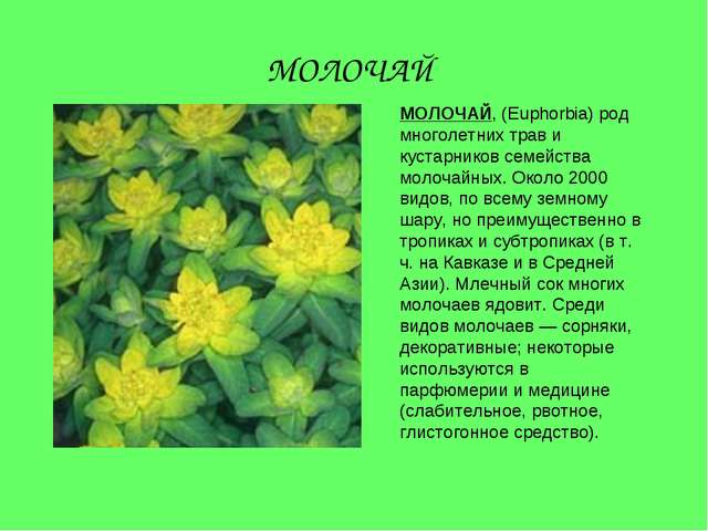 МОЛОЧАЙ, (Euphorbia) род многолетних трав и кустарников семейства молочайных....