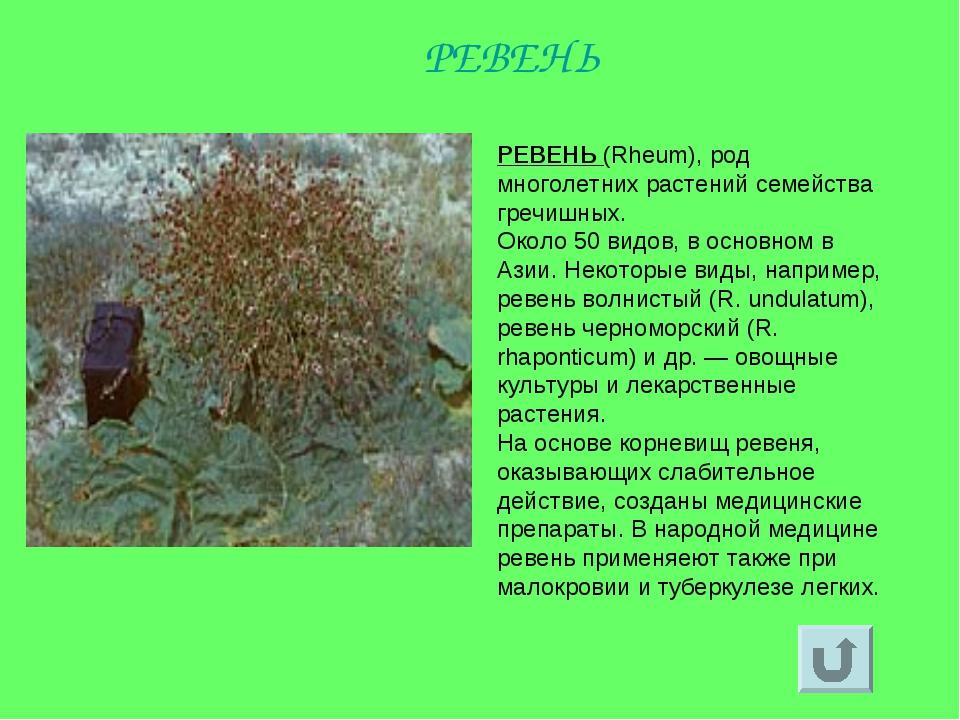 РЕВЕНЬ (Rheum), род многолетних растений семейства гречишных. Около 50 видов,...