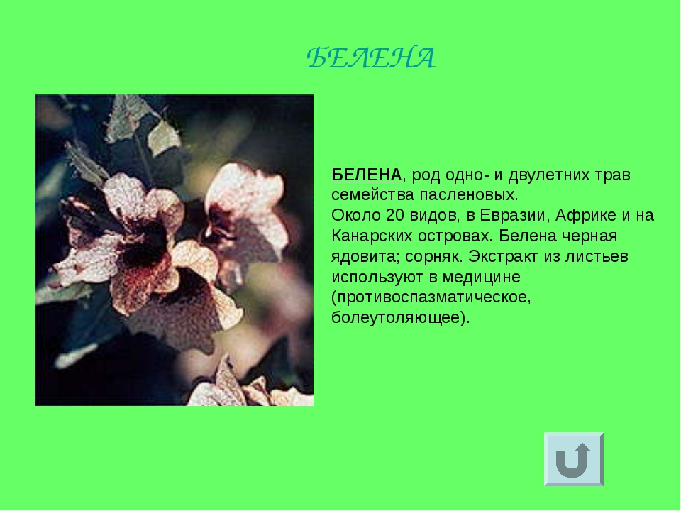 БЕЛЕНА, род одно- и двулетних трав семейства пасленовых. Около 20 видов, в Ев...