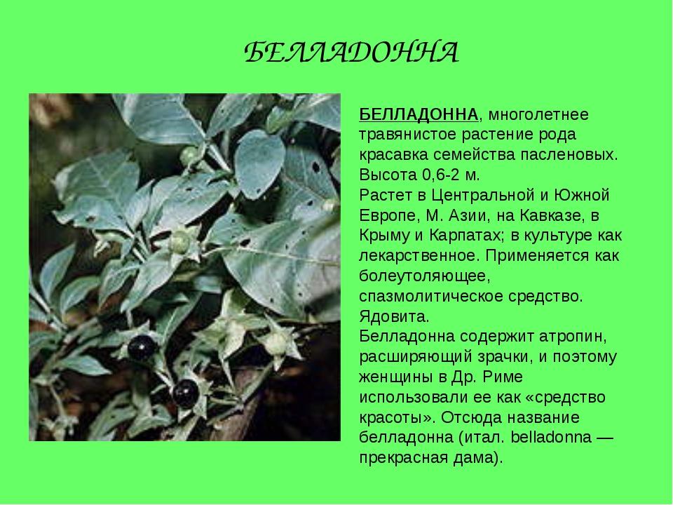 БЕЛЛАДОННА, многолетнее травянистое растение рода красавка семейства пасленов...