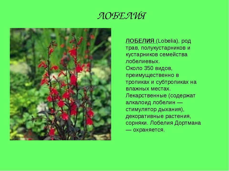 ЛОБЕЛИЯ (Lobelia), род трав, полукустарников и кустарников семейства лобелиев...