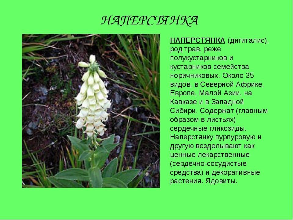 НАПЕРСТЯНКА (дигиталис), род трав, реже полукустарников и кустарников семейст...