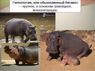 Гиппопотам, или обыкновенный бегемот,— крупное, в основном травоядное, млеко