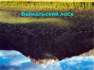 Байкальский лоск