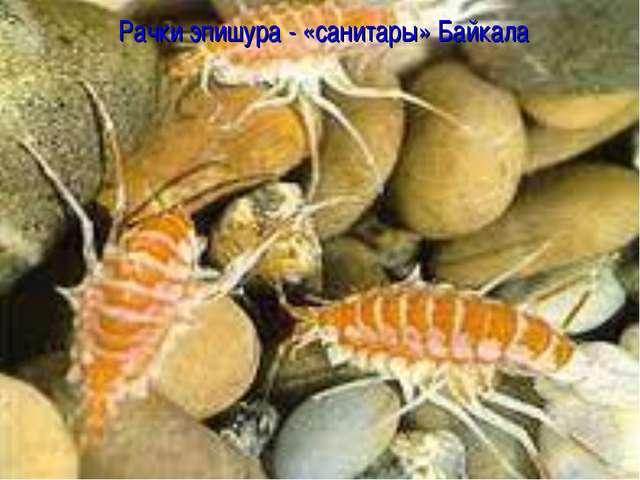 Рачки эпишура - «санитары» Байкала