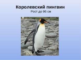 Королевский пингвин Рост до 96 см