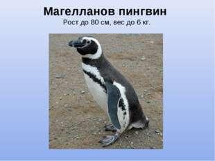 Магелланов пингвин Рост до 80 см, вес до 6 кг.