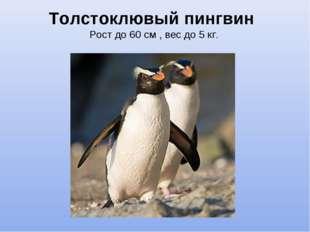 Толстоклювый пингвин Рост до 60 см , вес до 5 кг.
