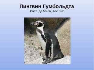 Пингвин Гумбольдта Рост до 56 см, вес 5 кг.