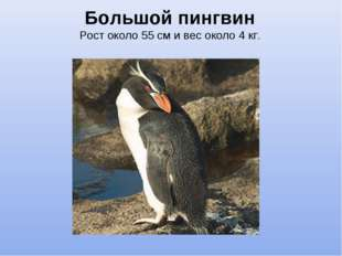 Большой пингвин Рост около 55 см и вес около 4 кг.