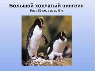 Большой хохлатый пингвин Рост 55 см, вес до 5 кг.