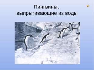 Пингвины, выпрыгивающие из воды