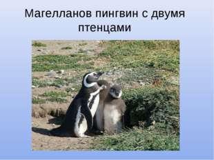 Магелланов пингвин с двумя птенцами