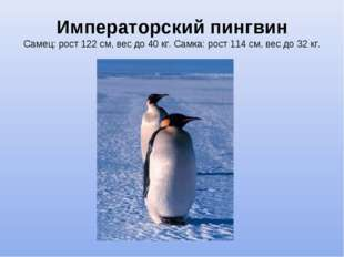Императорский пингвин Самец: рост 122см, вес до 40 кг. Самка: рост 114см,