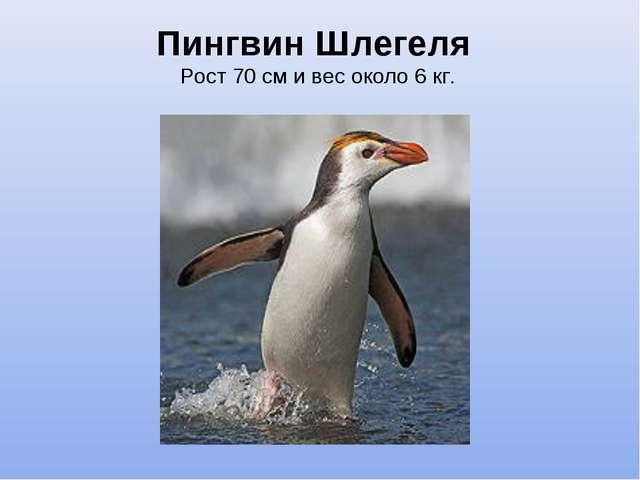 Пингвин Шлегеля Рост 70 см и вес около 6 кг.