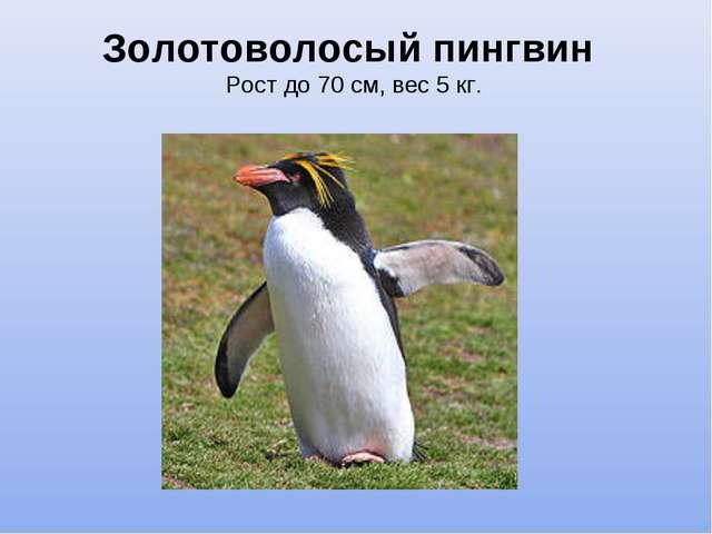 Золотоволосый пингвин Рост до 70 см, вес 5 кг.