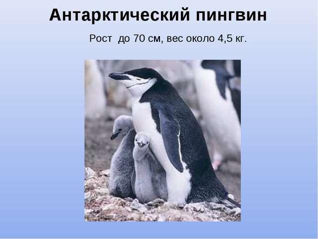 Антарктический пингвин Рост до 70 см, вес около 4,5 кг.