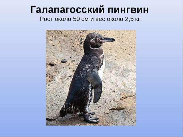 Галапагосский пингвин Рост около 50 см и вес около 2,5 кг.