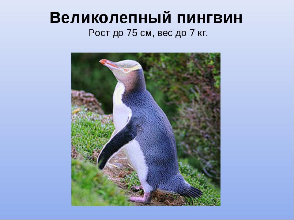 Великолепный пингвин Рост до 75 см, вес до 7 кг.