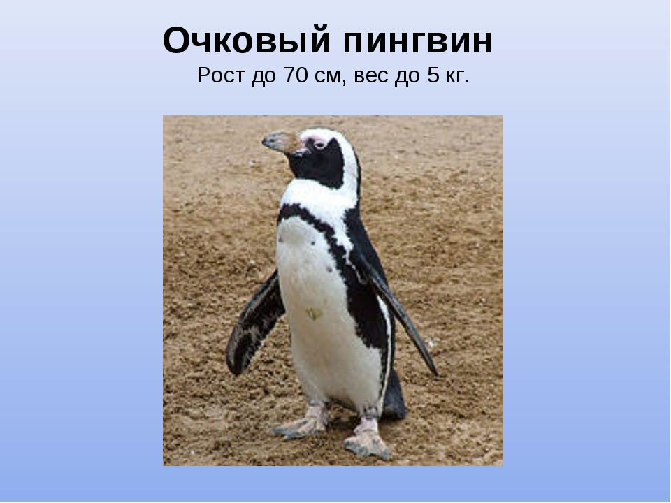 Очковый пингвин Рост до 70 см, вес до 5 кг.