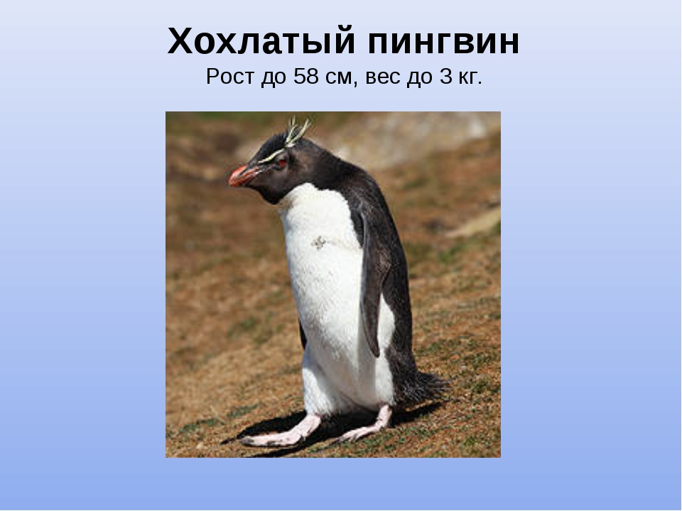 Хохлатый пингвин Рост до 58 см, вес до 3 кг.
