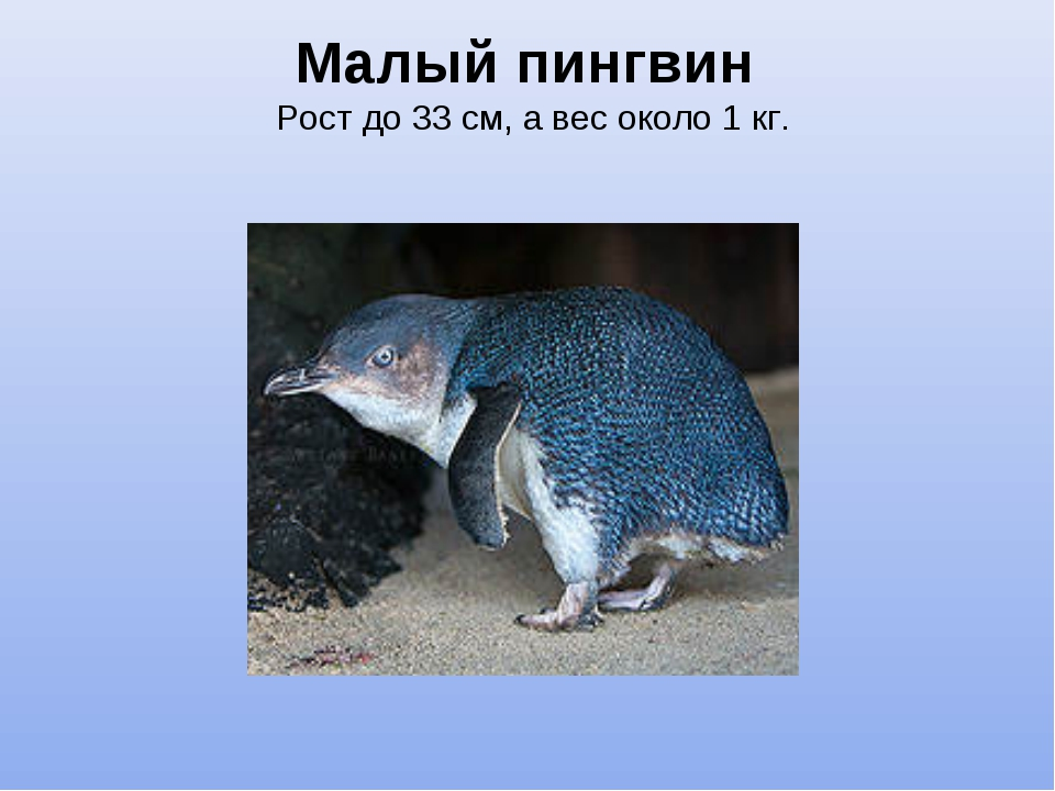 Малый пингвин Рост до 33 см, а вес около 1 кг.