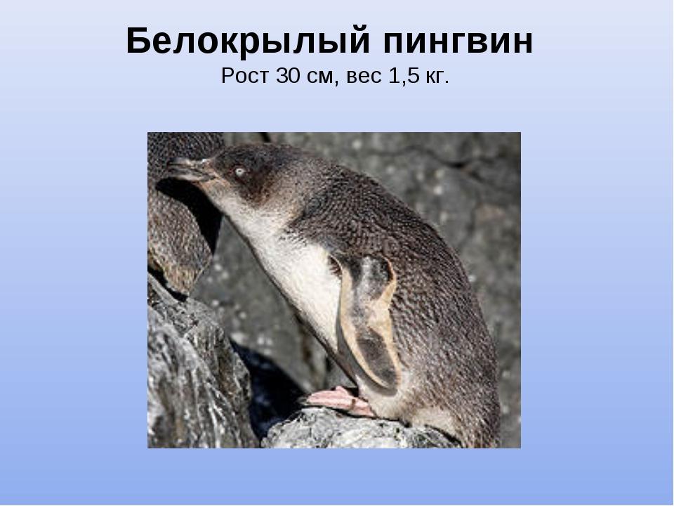 Белокрылый пингвин Рост 30 см, вес 1,5 кг.