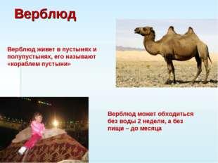 Верблюд Верблюд живет в пустынях и полупустынях, его называют «кораблем пусты