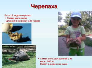 Черепаха Есть 12 видов черепах: Самая маленькая – длиной 8 см весит 140 грамм