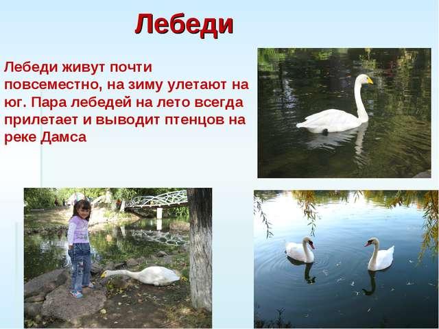 Лебеди Лебеди живут почти повсеместно, на зиму улетают на юг. Пара лебедей на...