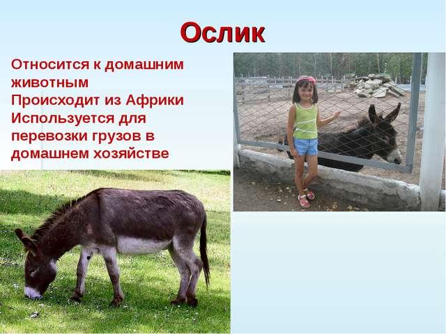Ослик Относится к домашним животным Происходит из Африки Используется для пер...