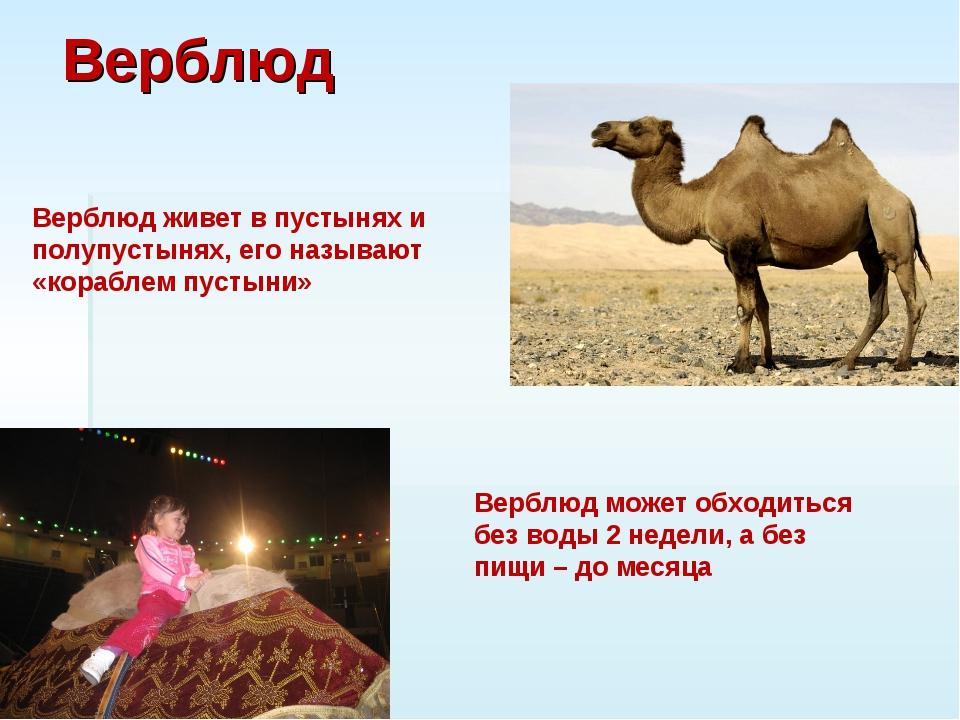 Верблюд Верблюд живет в пустынях и полупустынях, его называют «кораблем пусты...