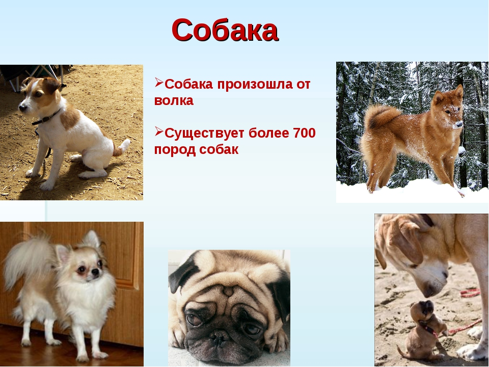 Собака Собака произошла от волка Существует более 700 пород собак