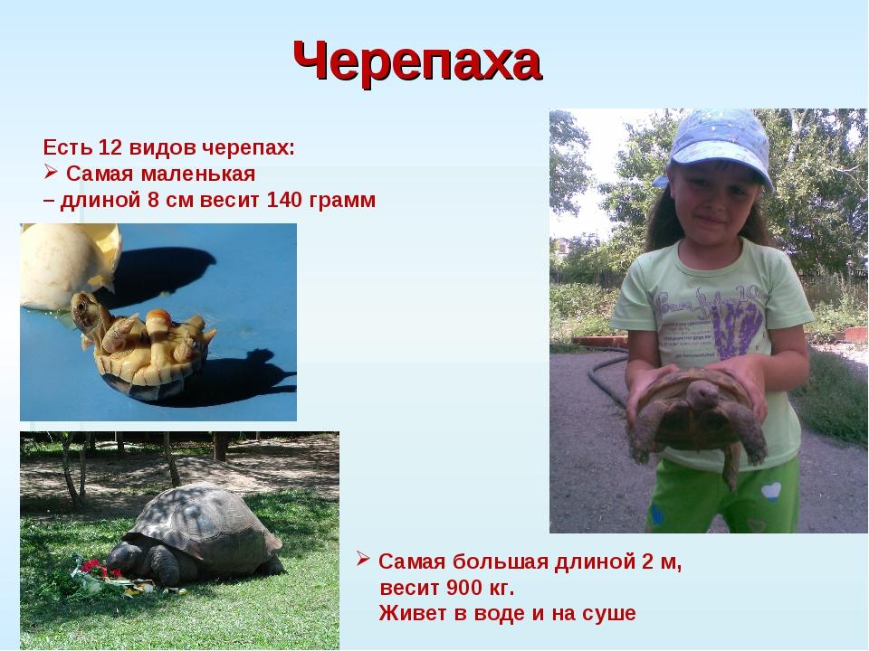 Черепаха Есть 12 видов черепах: Самая маленькая – длиной 8 см весит 140 грамм...