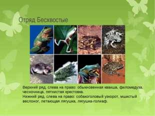 Отряд Бесхвостые Верхний ряд, слева на право: обыкновенная квакша, филомедуза