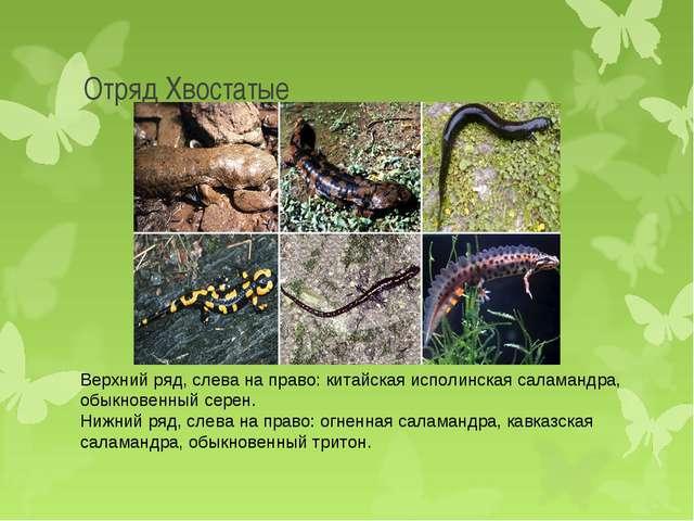 Отряд Хвостатые Верхний ряд, слева на право: китайская исполинская саламандра...