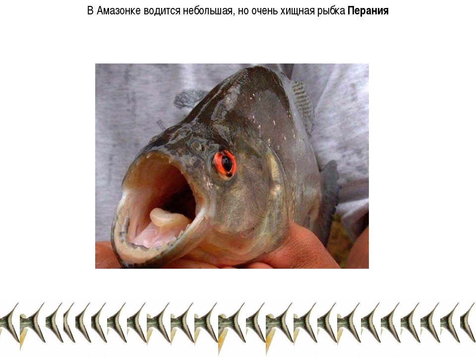 В Амазонке водится небольшая, но очень хищная рыбка Перания