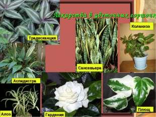 Лекарства в цветочных горшочках Традесканция Аспидистра Алоэ Гардения Плющ Ко