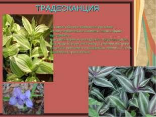 ТРАДЕСКАНЦИЯ Я самое обычное комнатное растение, но могу значительно понизить