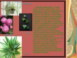 Однажды Мария узнала, что такие цветы, как Плющ, Хризантема, Алоэ и Хлорофит
