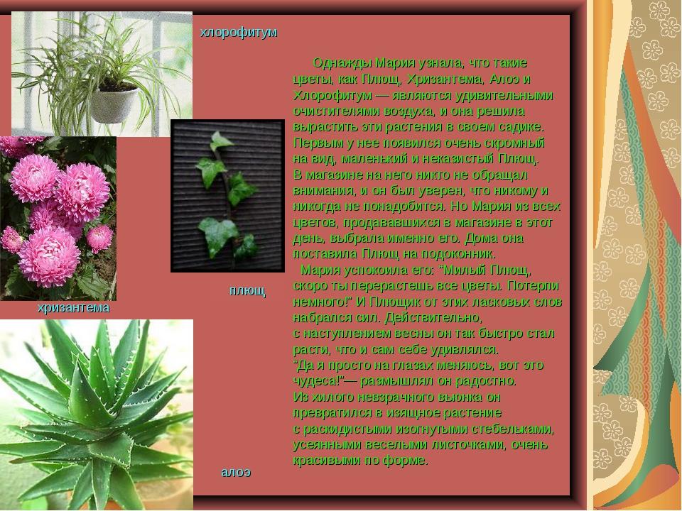 Однажды Мария узнала, что такие цветы, как Плющ, Хризантема, Алоэ и Хлорофит...