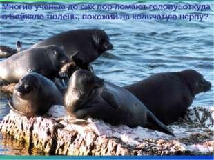 * Многие ученые до сих пор ломают голову: откуда в Байкале тюлень, похожий на