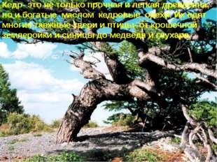 * Кедр- это не только прочная и легкая древесина, но и богатые маслом кедровы