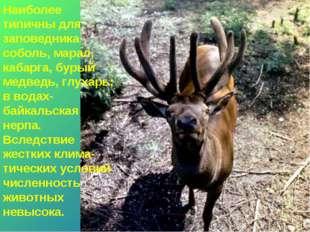 * Наиболее типичны для заповедника соболь, марал, кабарга, бурый медведь, глу