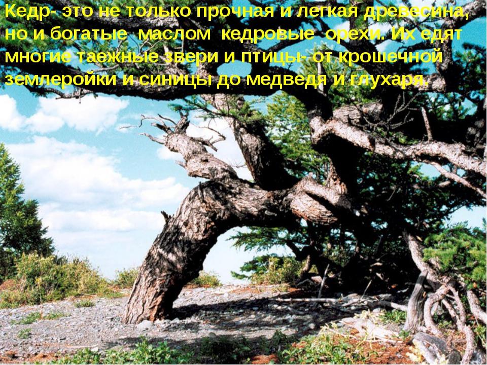 * Кедр- это не только прочная и легкая древесина, но и богатые маслом кедровы...